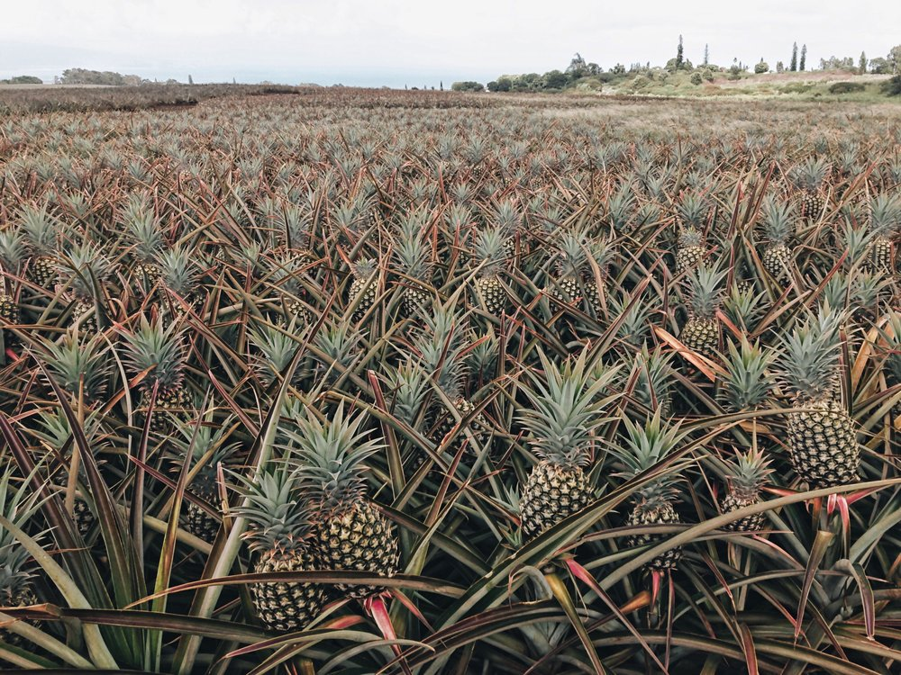 Hawaii-trip-pineapple-farm-by-Atlanta-photographer-Chanel-French-2