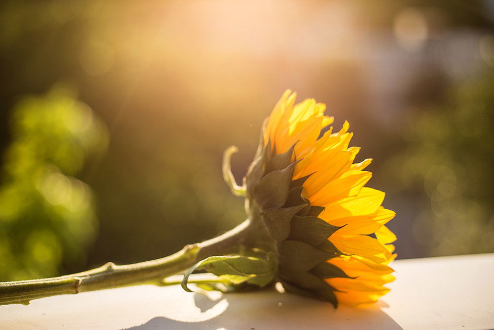 Sunflower-in-backlight-by-Atlanta-photographer-Chanel-French.jpg