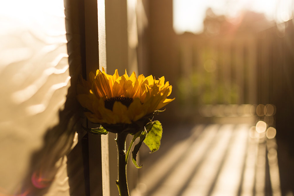 Sunflower-in-beautiful-backlight-by-Marietta-photographer-Chanel-French