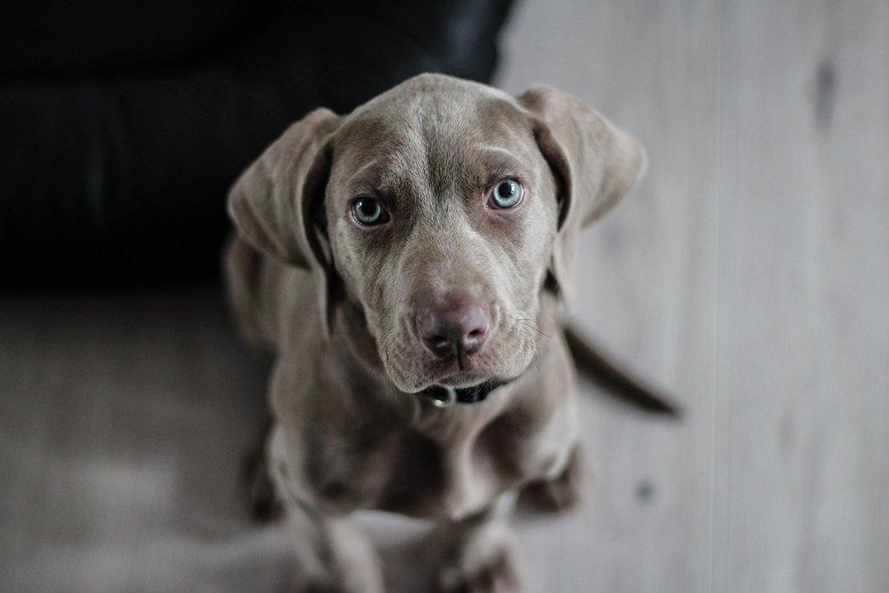 Weimaraner Puppy.jpeg