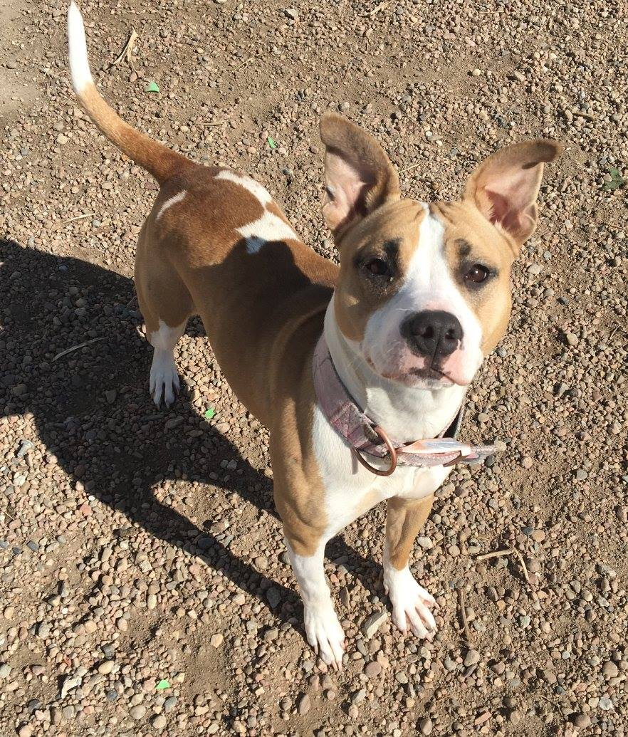 ABIGAIL - Abigail is a young mix breed dog who loves to be around people. She will need to be an only dog since she is not fond of other dogs or cats. If you are looking for a sweet only animal then you should stop in and meet Miss Abigail!