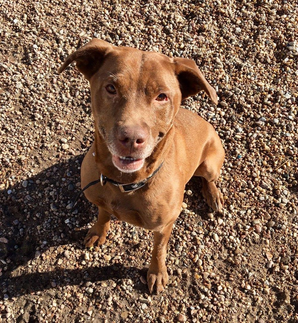 KATIE - Katie is a 5 year old Lab mix. She is almost always smiling when you see her. She gets along with some other dogs. She is a very sweet girl looking for a nice comfy couch to lounge around on.