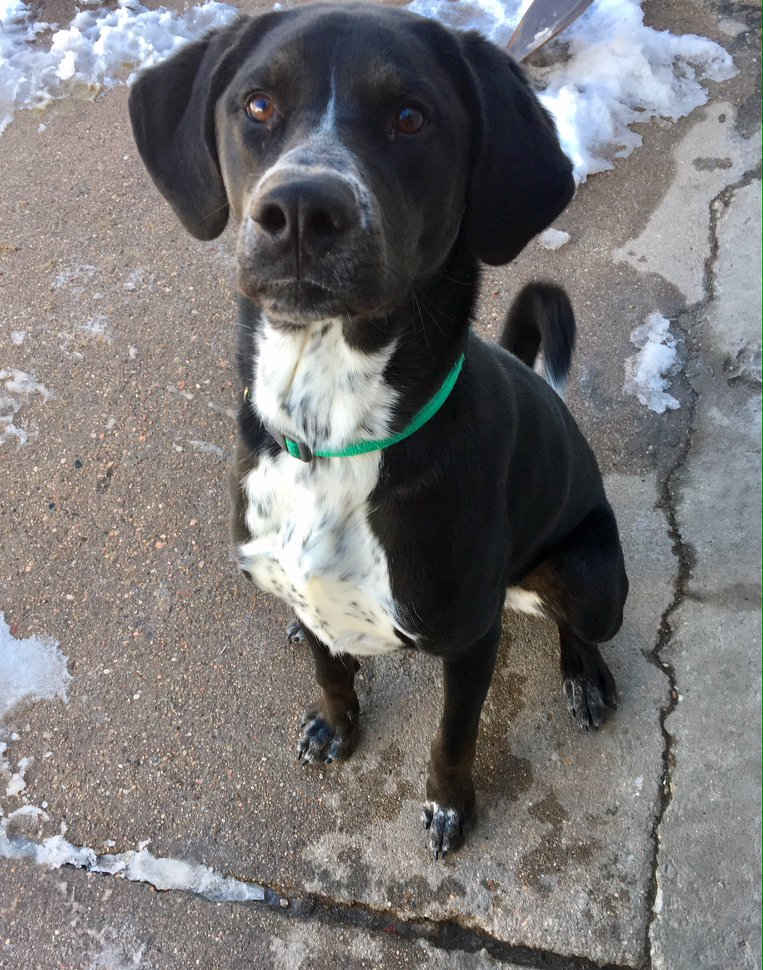 PHILLY - Philly is a young Lab/Pointer mix who has spent most of his first year in a shelter. He is a very active and energetic dog and he gets along with most other dogs. He needs a home that is willing to work with him and give him the exercise he needs.