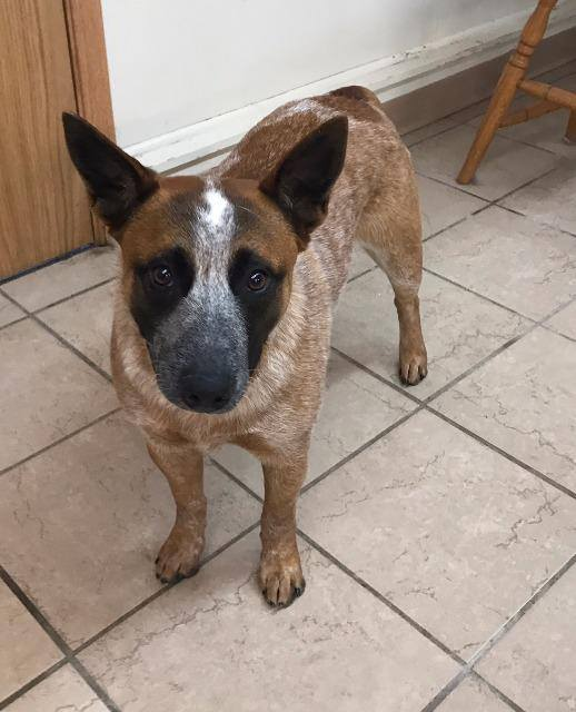 ZORRA - Zorra is a young red heeler. She is going to need a home familiar with the breed. She loves to bark at the cats and gets along with some other dogs. She would do best in a home without small children.