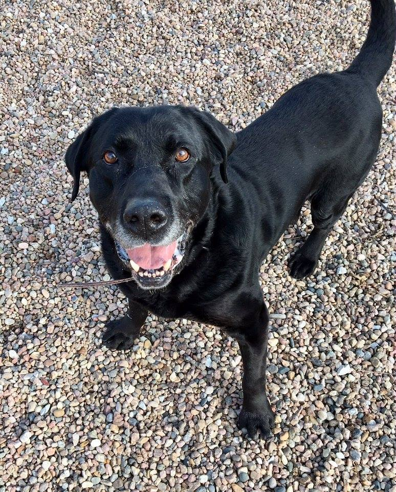 BARNEY - Barney is a 10 year old Lab that found himself at the shelter at no fault of his own. You wouldn't believe he is 10 as he has an abundance of energy. He gets along well with other dogs and loves people!