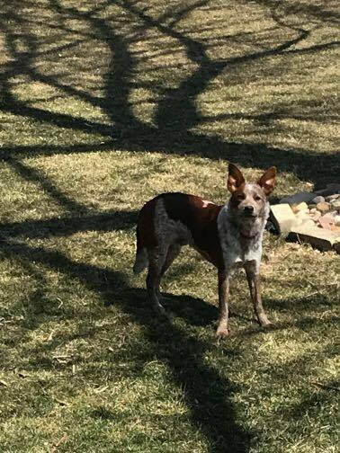 MAX - Max is a male red heeler mix