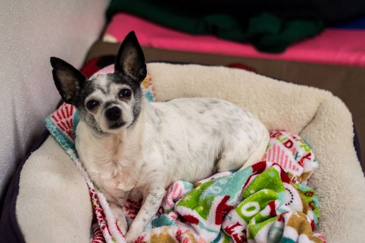 JOJO - JoJo is a 6-7 year old Chihuahua who has spent her life as a breeding dog. She is a little shy and would do best with a quiet home and another doggie friend. She will need a fenced yard.