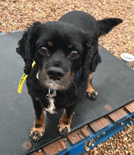 DERB (Bonded Trio) - Derb, 5 year old male Spaniel mix! He is part of the bonded trio with Max and Gabe