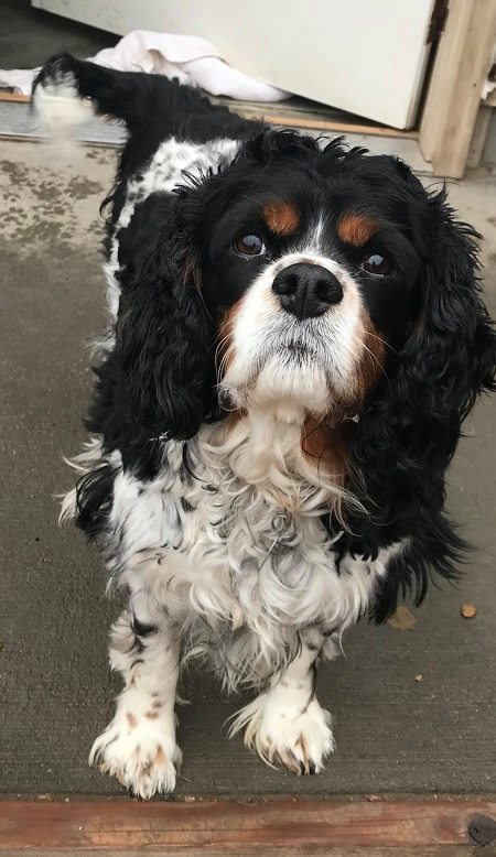 MAX (Bonded Trio) - Max, 9 year old male Spaniel mix! He is part of the bonded trio with Derb and Gabe