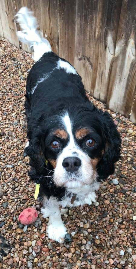 GABE (Bonded Trio) - Gabe, 9 year old male Spaniel mix! He is part of the bonded trio with Derb and Max