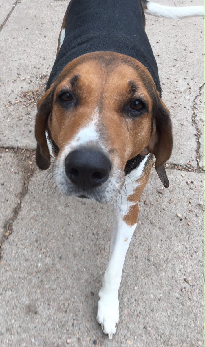 NORMAN - Norman, 9 year old male coonhound