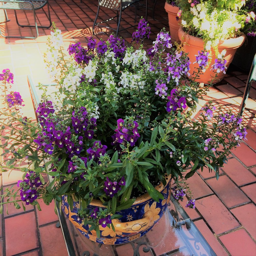Purple and white Angelonia...