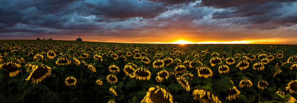 20140726 Sunflower Field-21untitled.jpg