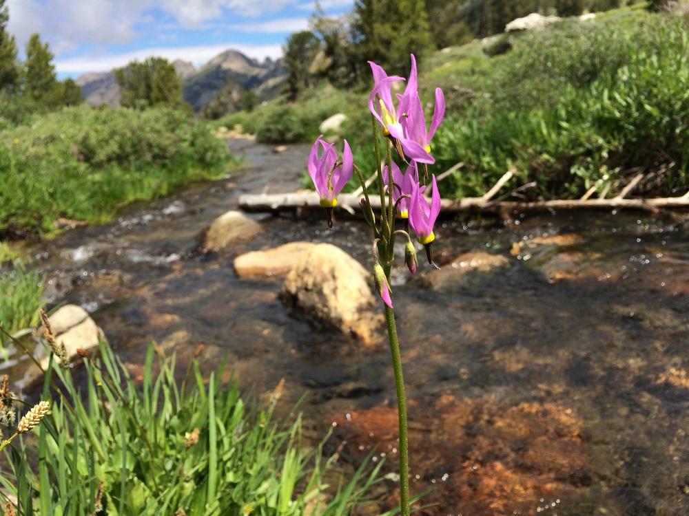Upper Kleckner Creek and shooting stars in bloom