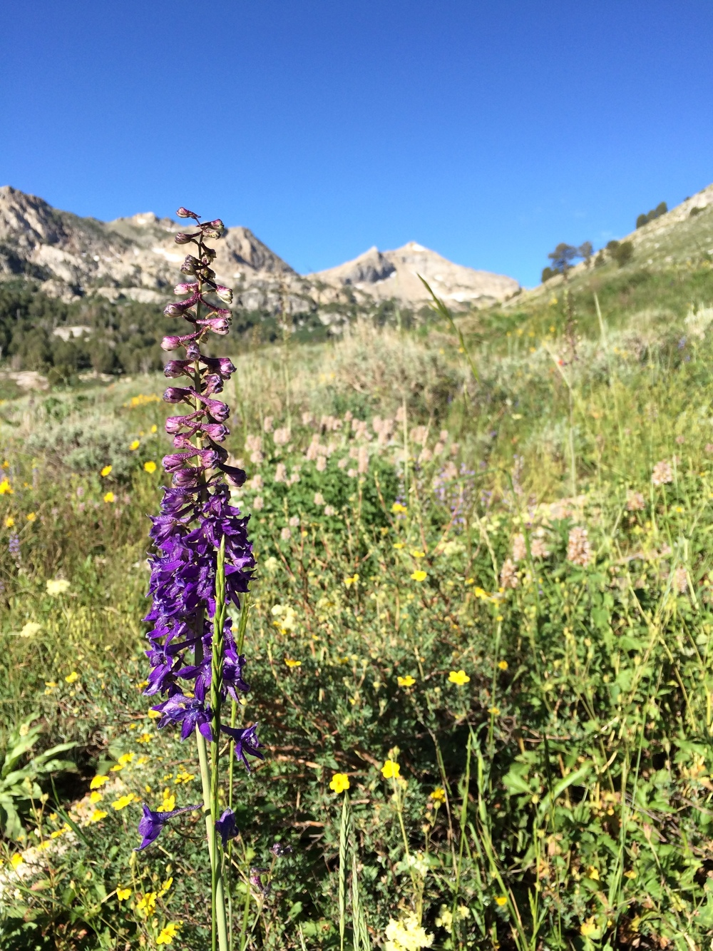 Giant Mountain Larkspur and other wildflowers in Lamoille Canyon.