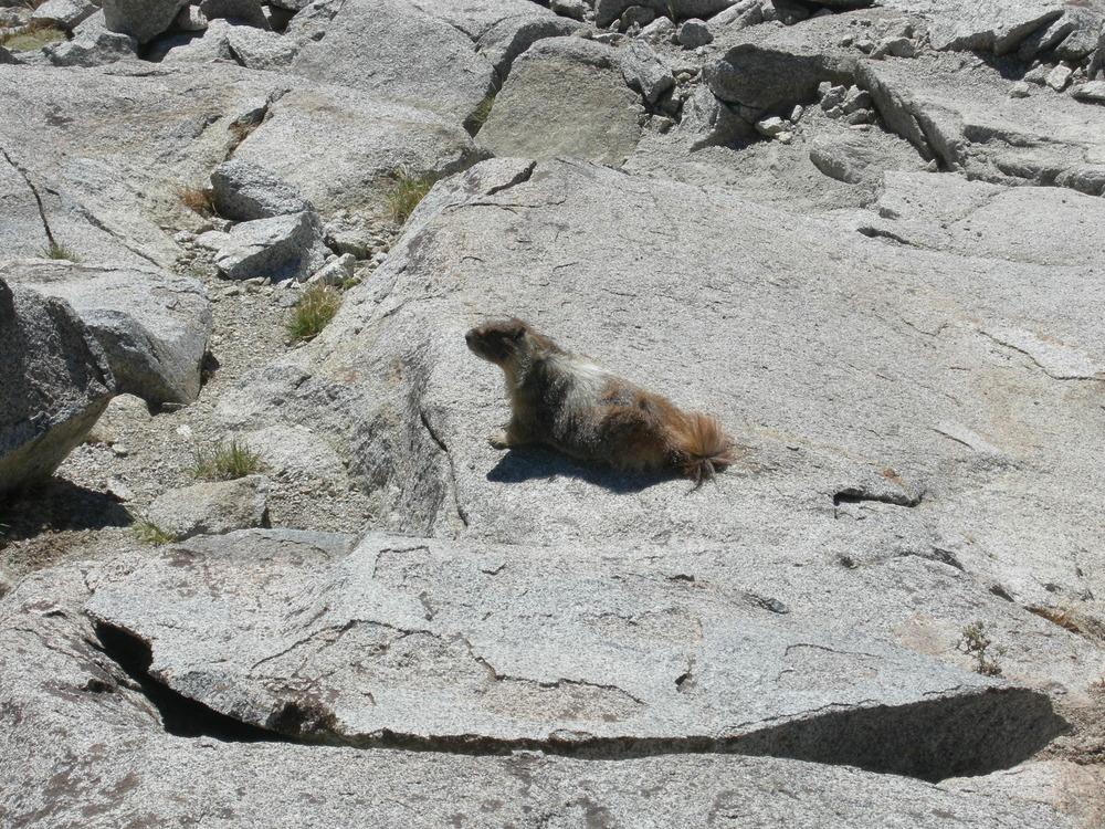 sierra-nevada-marmot