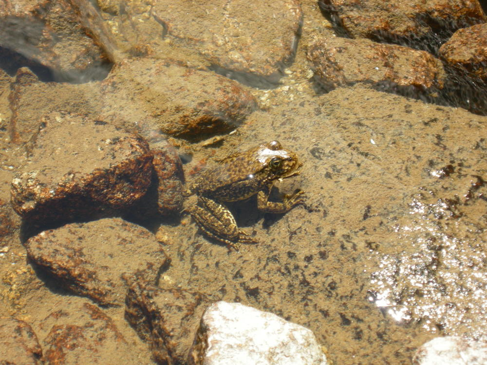 frog-sierra-pond