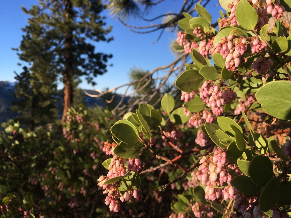 Manzanita blossoms, Jeffrey Pine and Sierra Bluebird sky