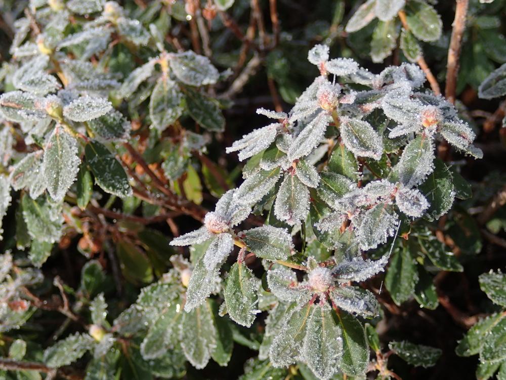 Frost on Sierra Rhododendron