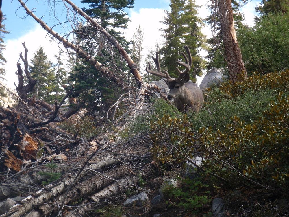 Day5 Velvet buck downed trees Deer Meadow along Cataract Creek 1.JPG