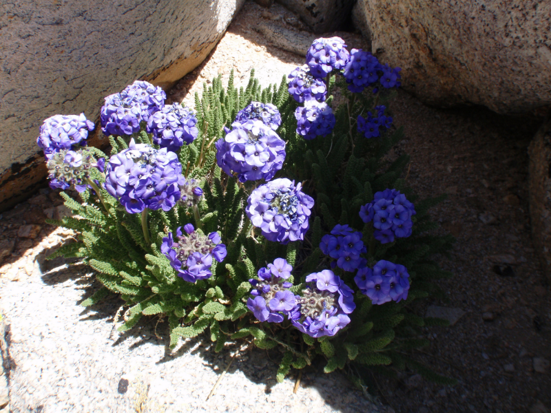 Sky Pilot (Polemonium eximium) growing at around 13,500'