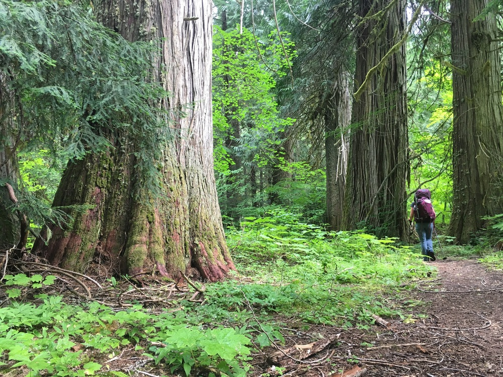 Ancient growth cedar trees