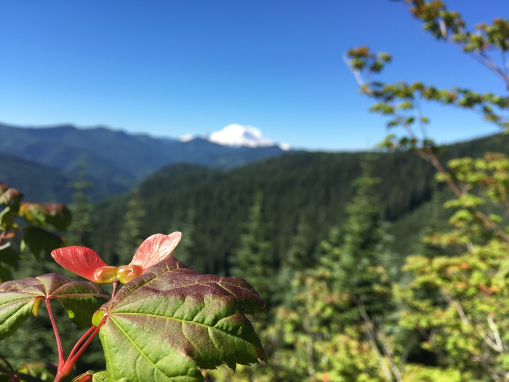 Maple seeds and Mt. Rainier