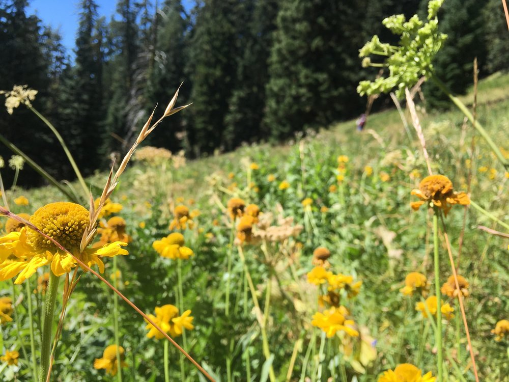 Late season wildflowers on the slopes of Mt. Ashland.