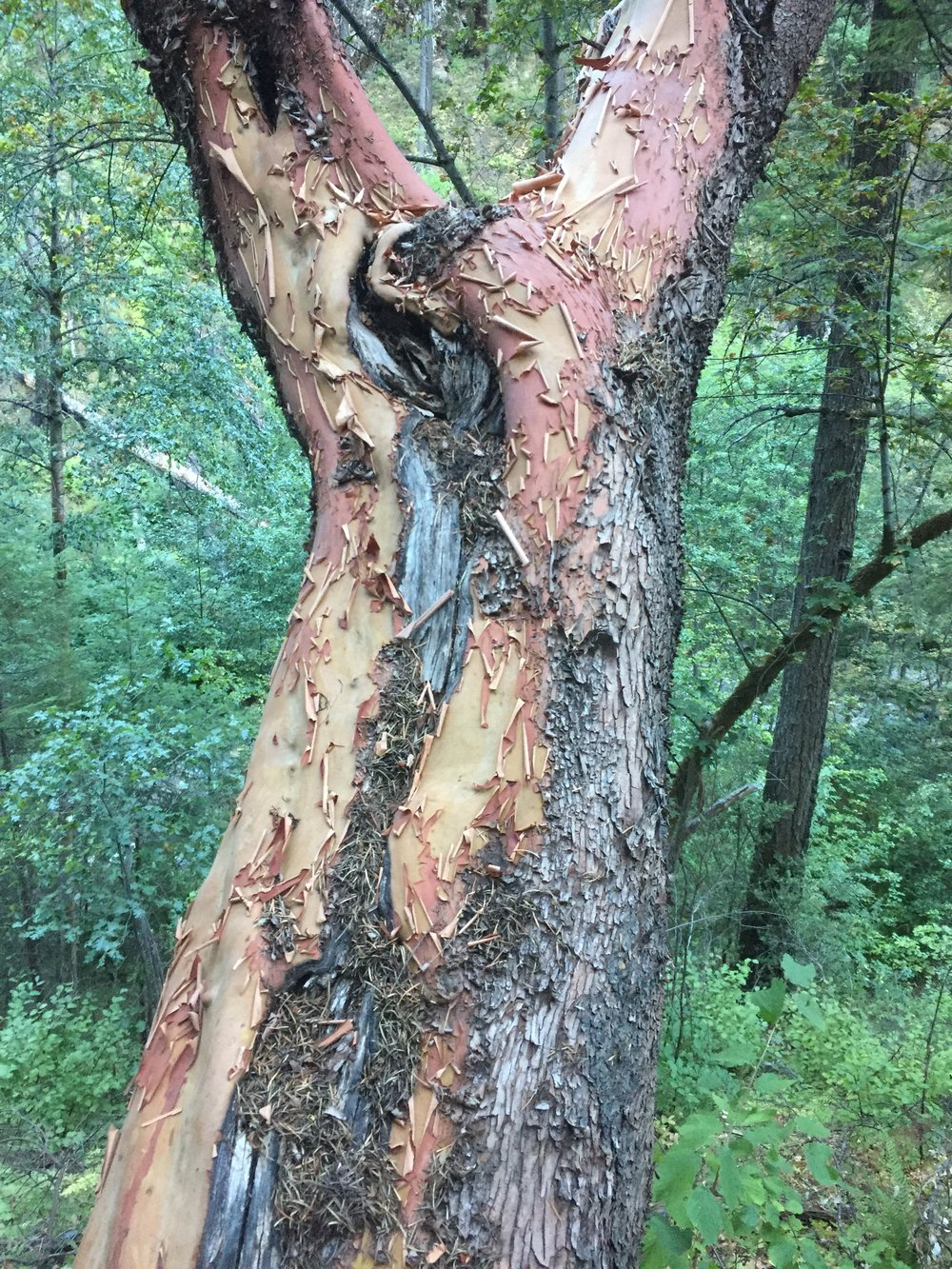 Peeling bark of an intact madrone