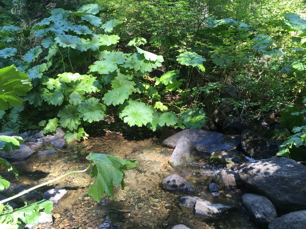 Large green foliage along the creeks on the shaded slope up to Grizzly Peak.