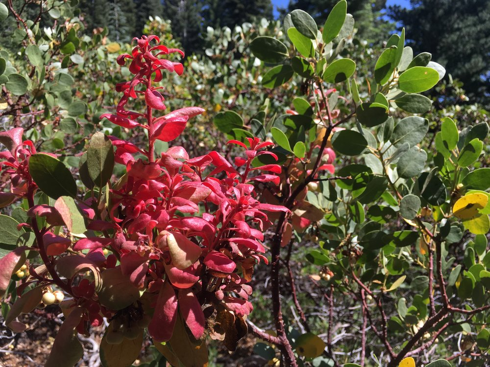 The mysteriously brilliant red leaves, new growth on a mazanita.