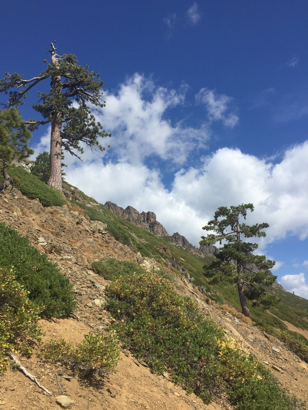 Tenacious Jeffrey and Sugar pines on the slopes of the Sierra Buttes