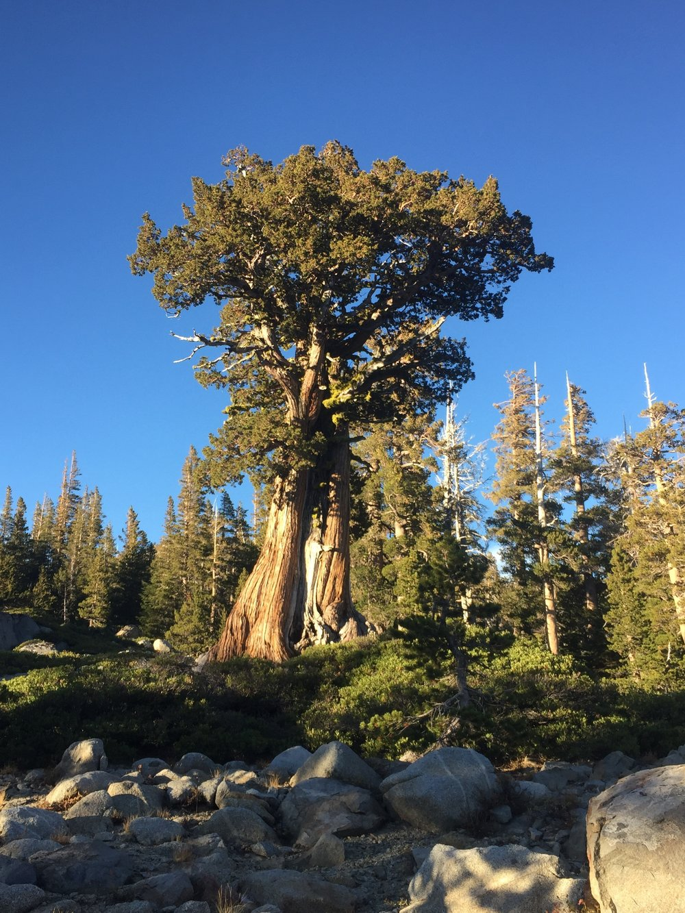A majestic juniper near Middle Velma Lake