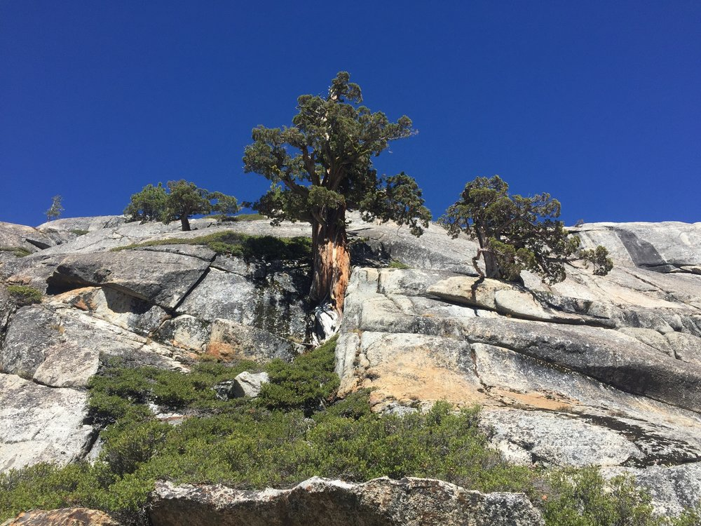 Western junipers on the steep granite walls of northern Yosemite's canyons