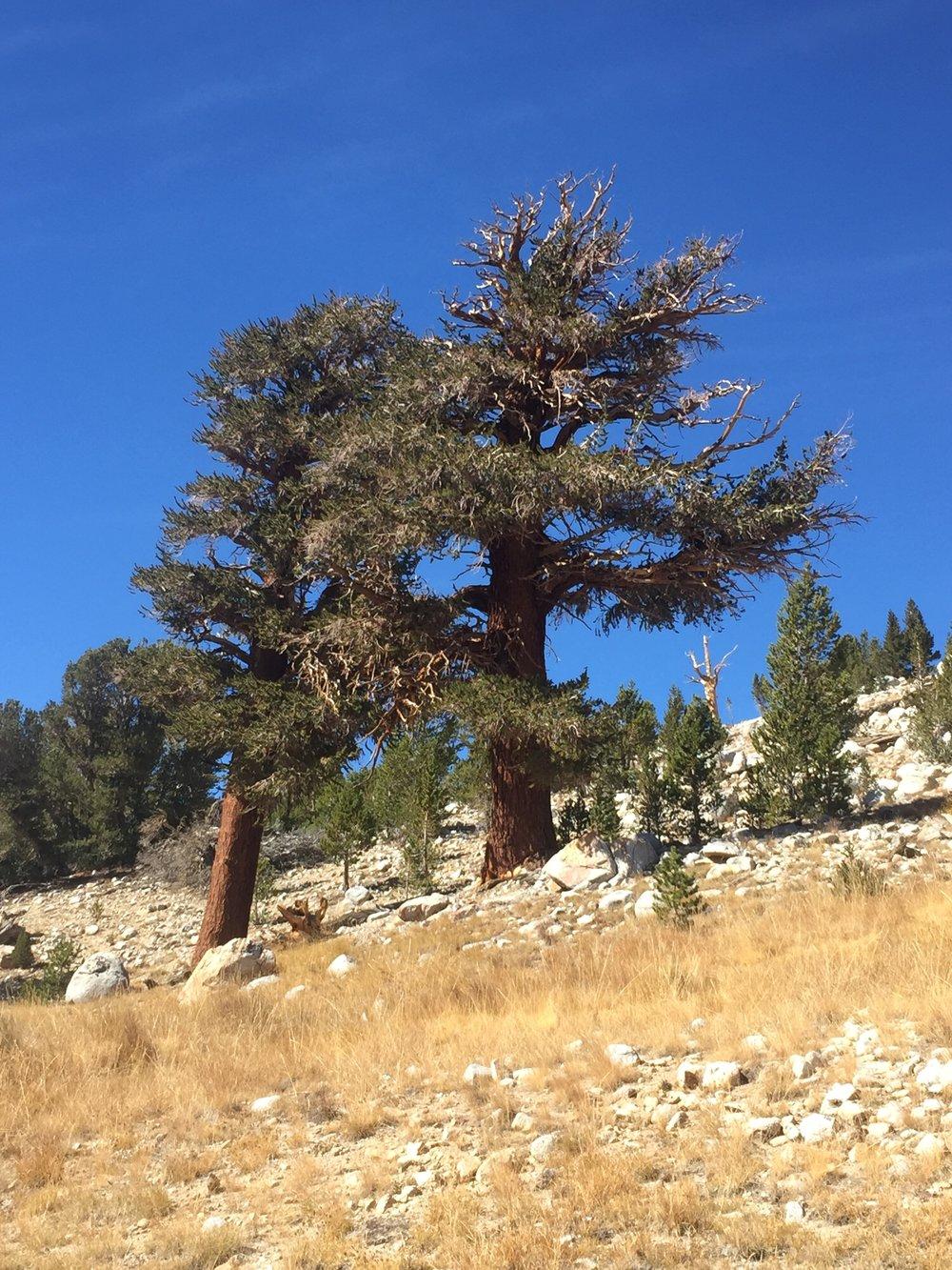 Lodgepole pines near treeline in Tyndall Basin