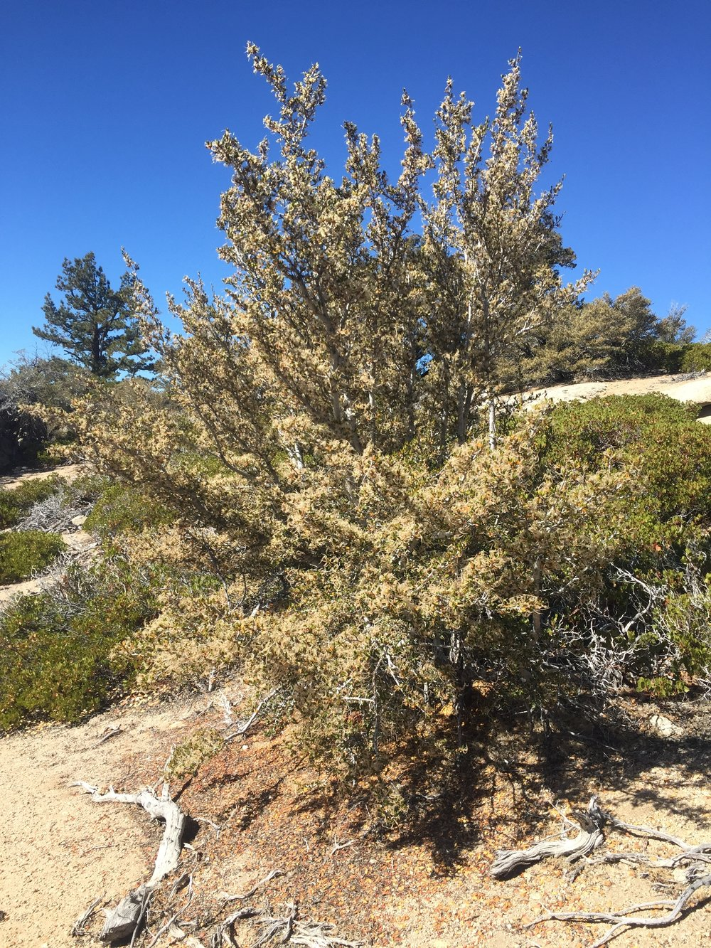 Mountain mahogany and manzanita in the lower reaches of the Golden Trout Wilderness