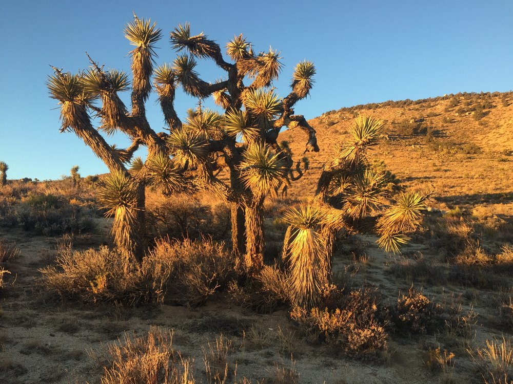 Evening golden hour on Joshua trees is pretty magical