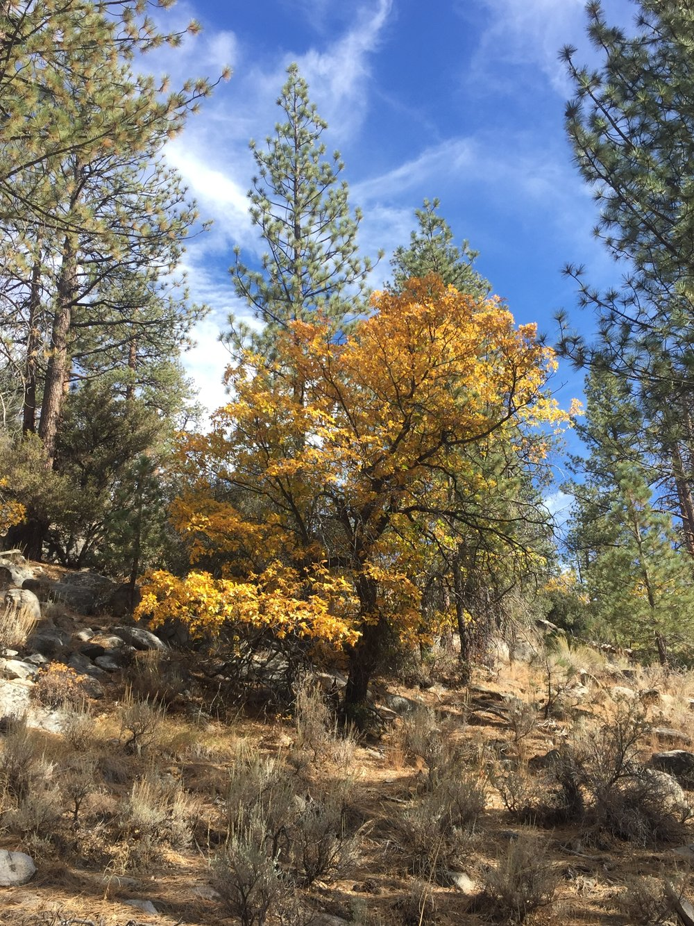 Mixed forest makes for fall colors along Cottonwood Creek (dry) south of Landers Meadow