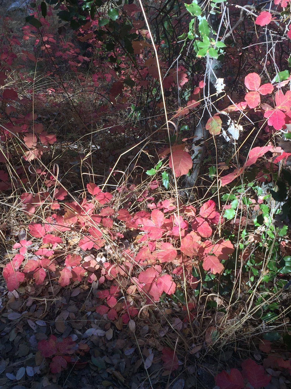Our old 'friend' poison oak along the trail through Shake Canyon