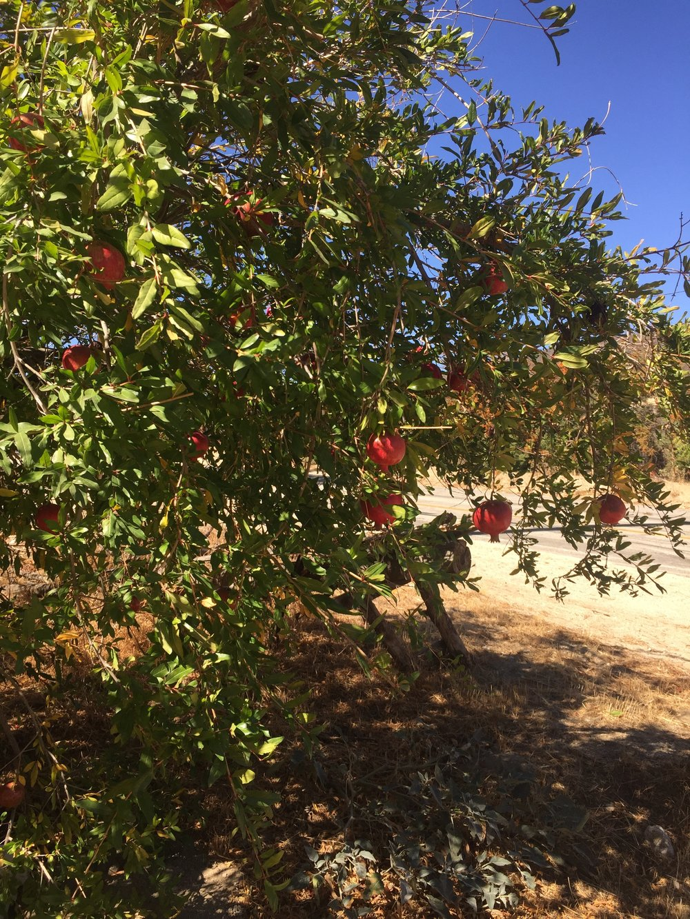 Too bad these pomegranates aren't hanging over the road