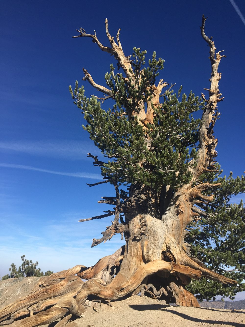 The Wally Waldron Tree, a Limber pine, estimated to be at least 1500 years old.