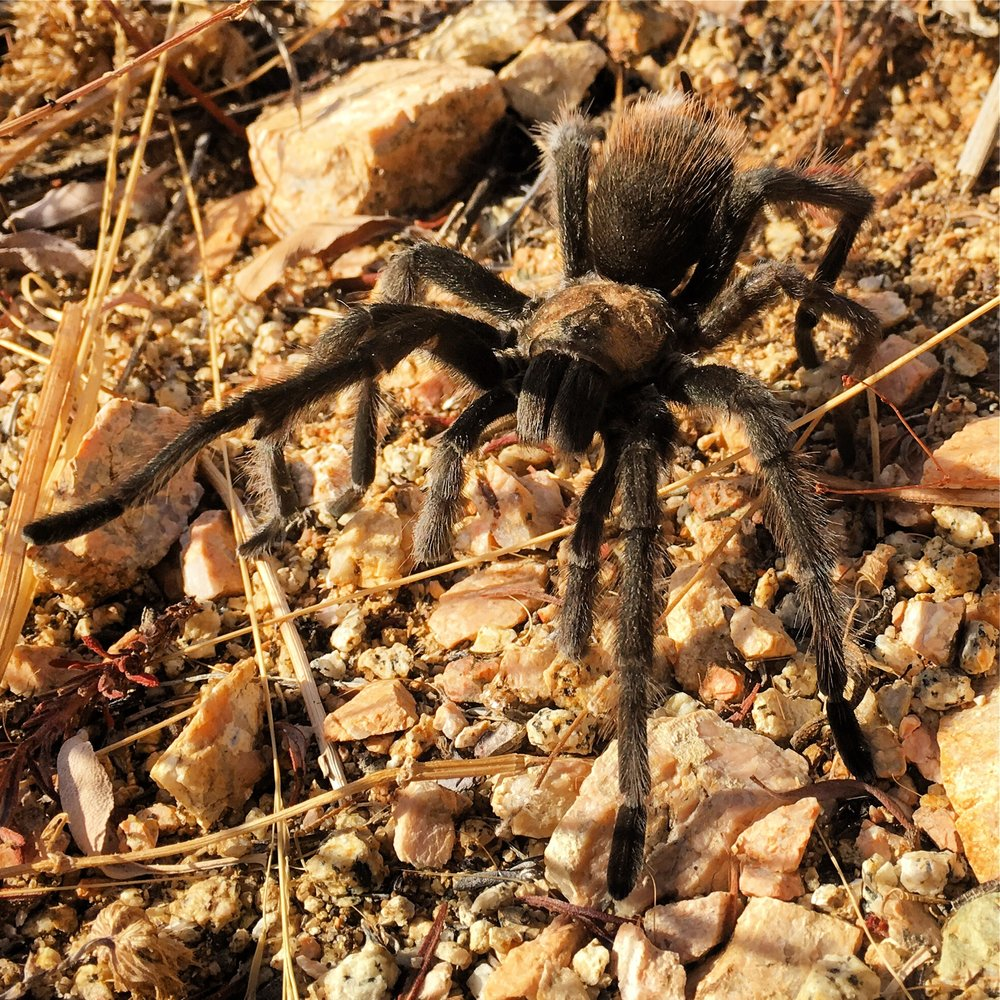 Hello said the Tarantula, welcome to my backyard.