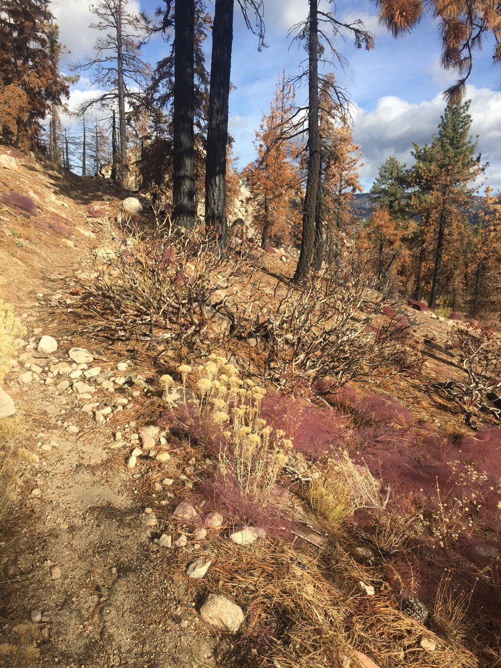 New growth along the trail through the Lake Fire burn zone