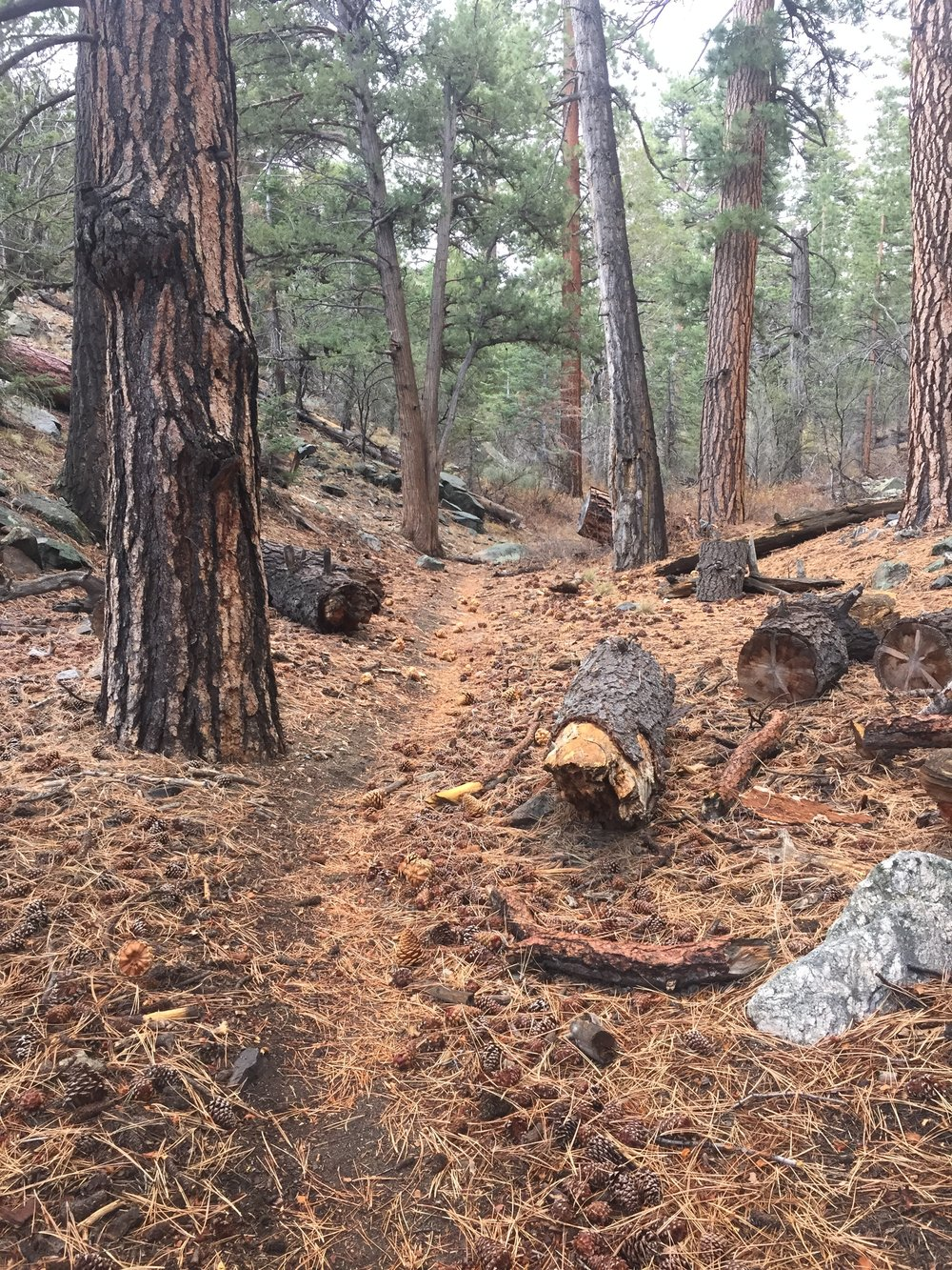 A Jeffrey pine forest along Arrastre Creek