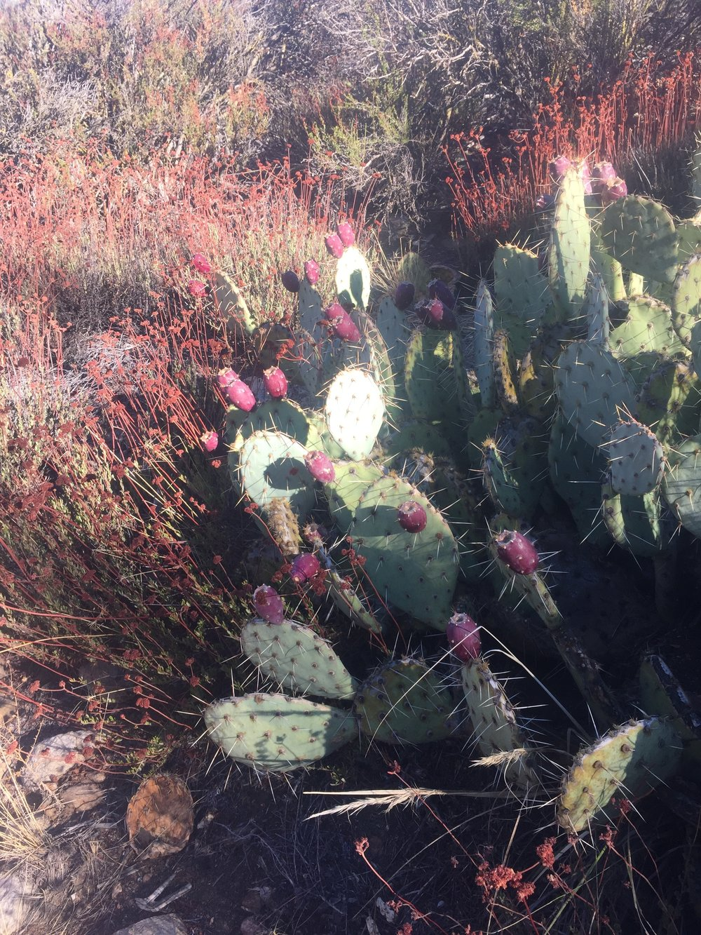 These prickly pears have an amazingly wide range through SoCal ecosystems