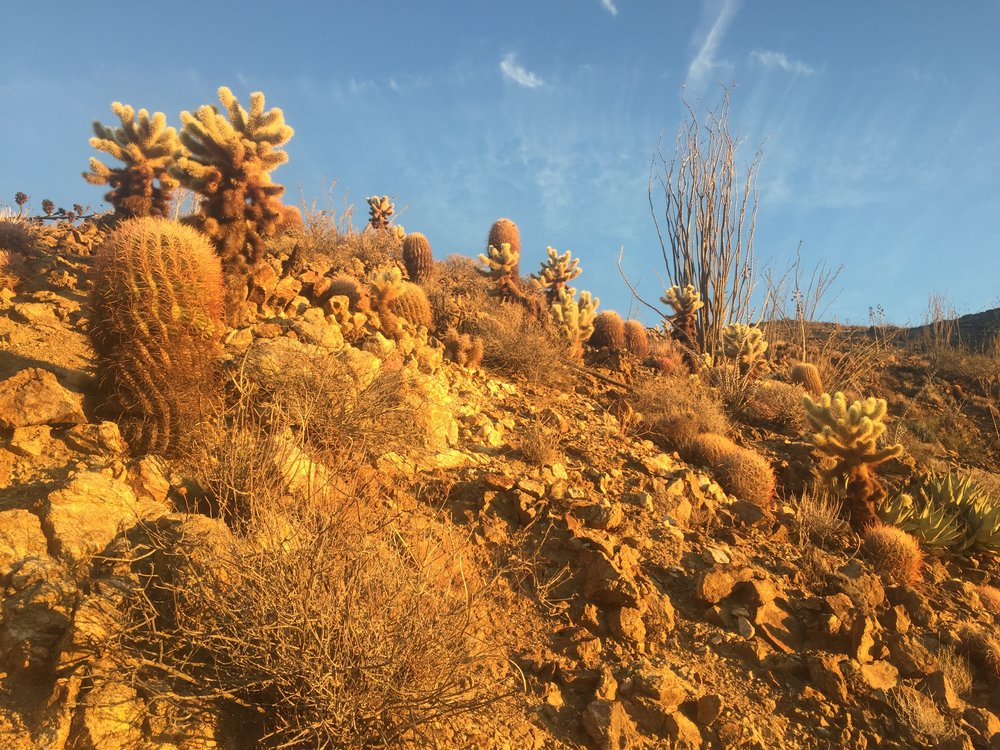 Morning golden hour in the San Felipe Hills, and the only ocotillos of the entire hike