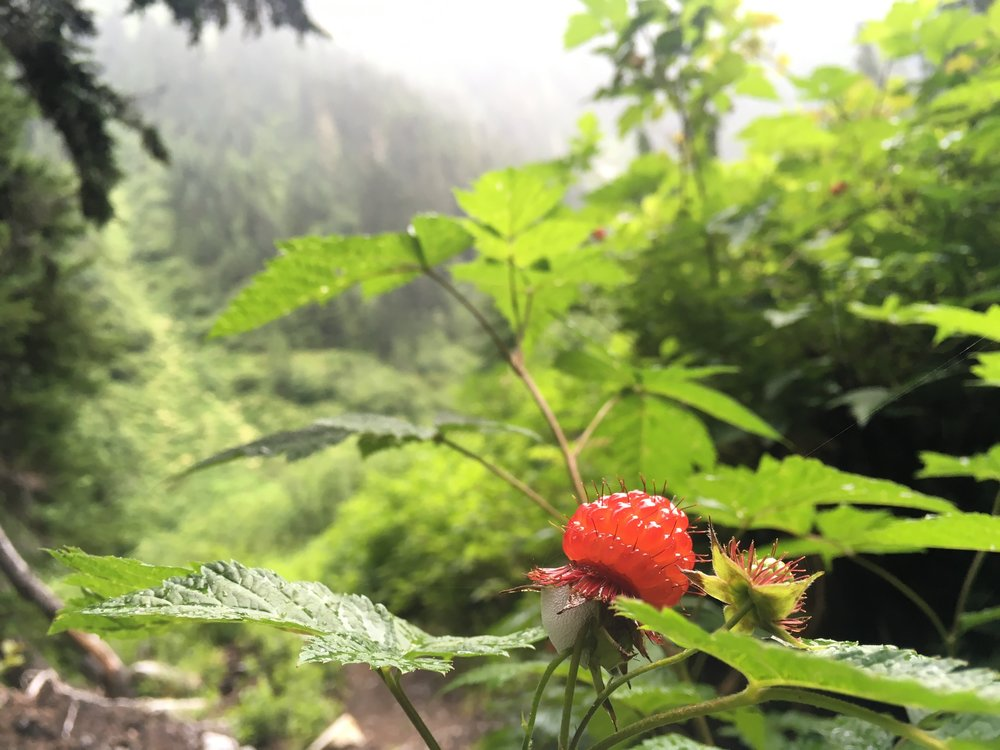Ripe Salmonberries