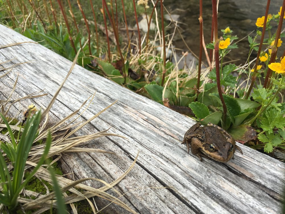 PCT Day 17 Toad on dry wood sweet basin below Escondido Ridge.JPG