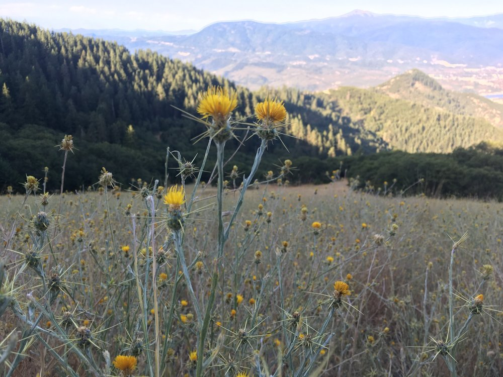 PCT Day 47- Yellow Star Thistle near Ashland.JPG