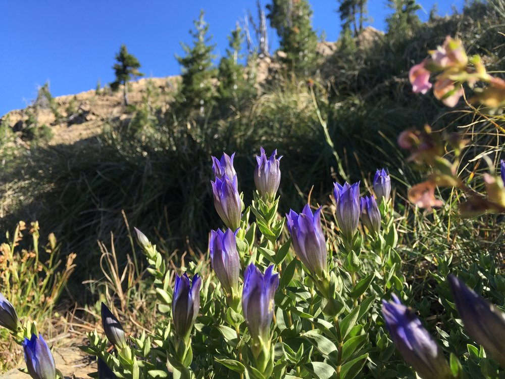PCT Day 49- purple wildflowers in the Siskiyou.JPG